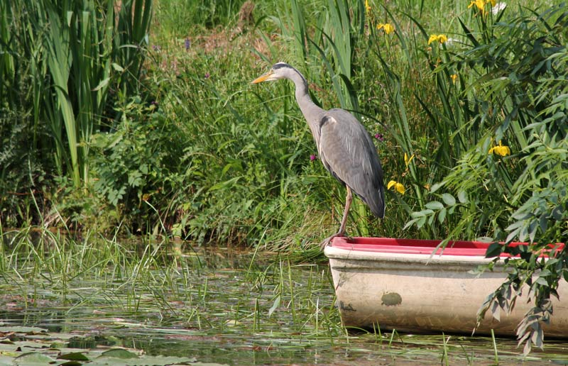 Birdwatching | Heron on the lake